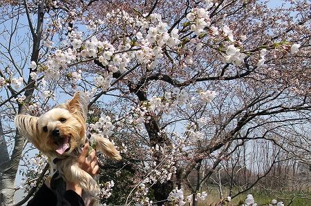 桜とまりお1