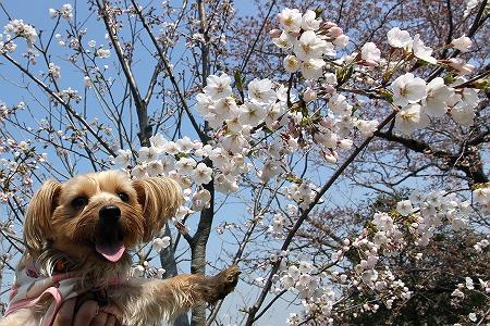 桜ともこ1