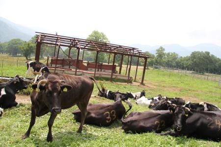 牛さん、放牧中