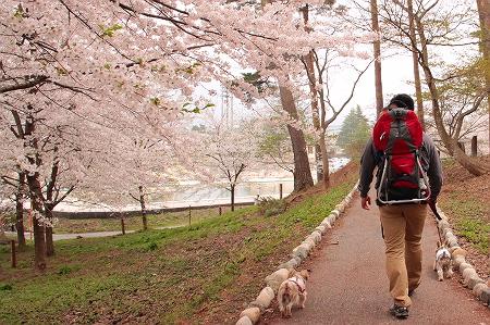 桜並木を歩きます。