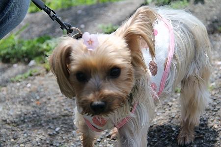 もこ、桜の髪飾り