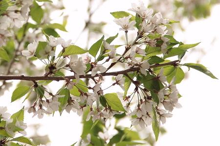 ちいさな桜みっけ。