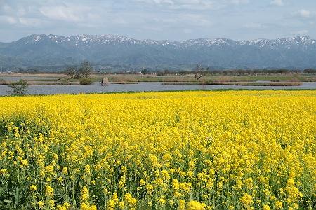 菜の花畑と福島潟と残雪の山並みと