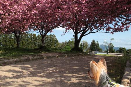 八重桜とまりお