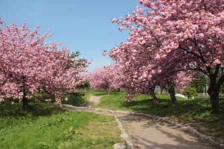 青空と満開の八重桜
