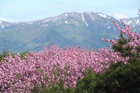 八重桜と五頭山