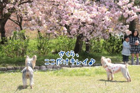 まりもこ、桜見物