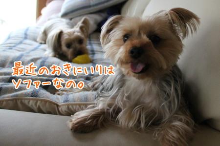 ココアちゃん、近頃ソファがおきにいり。