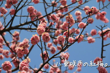 八重咲きの紅梅。