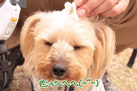 まりお、桜の髪飾り