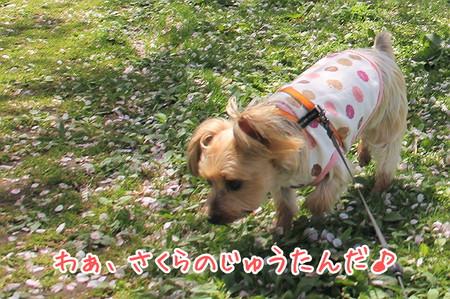 もこ「わぁ、桜のじゅうたんだ♪」