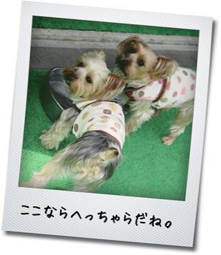 小型犬専用ランならへっちゃら。