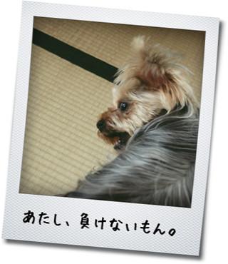 ココアちゃん「負けない!」