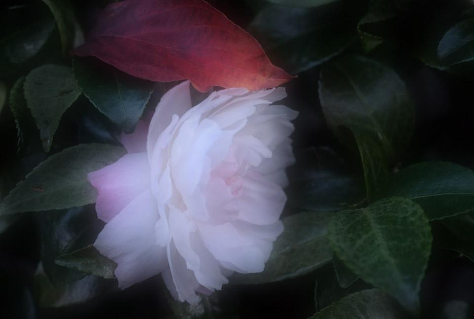 0369 山茶花日の出富士b 960×645