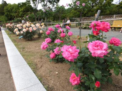 20120520バラ園5