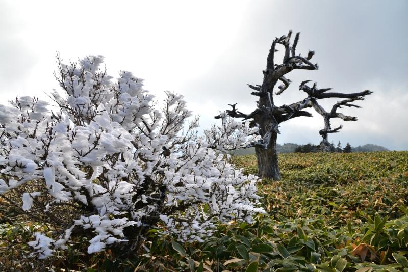 霧氷と白骨林 (愛媛県瓶ヶ森)