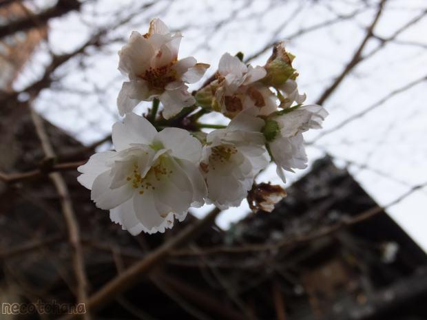 DSCF0679桜5