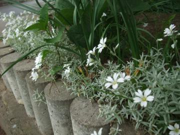 グラウンドカバーの花