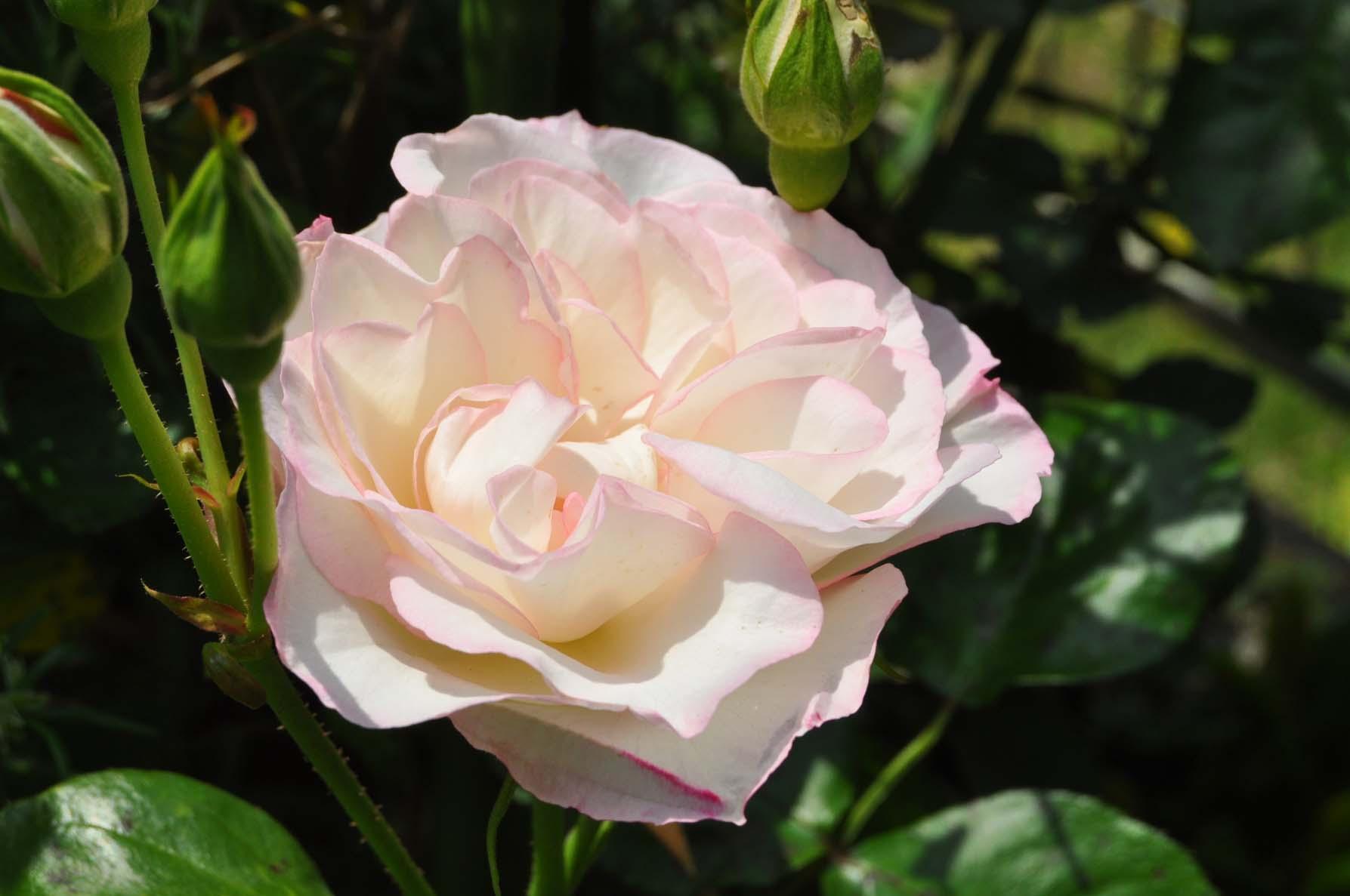 庭バラ11美咲