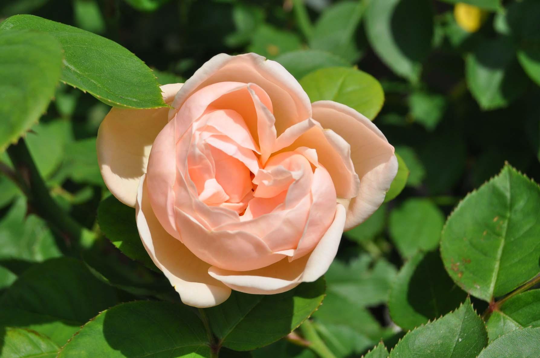 庭バラ13ブリーズ