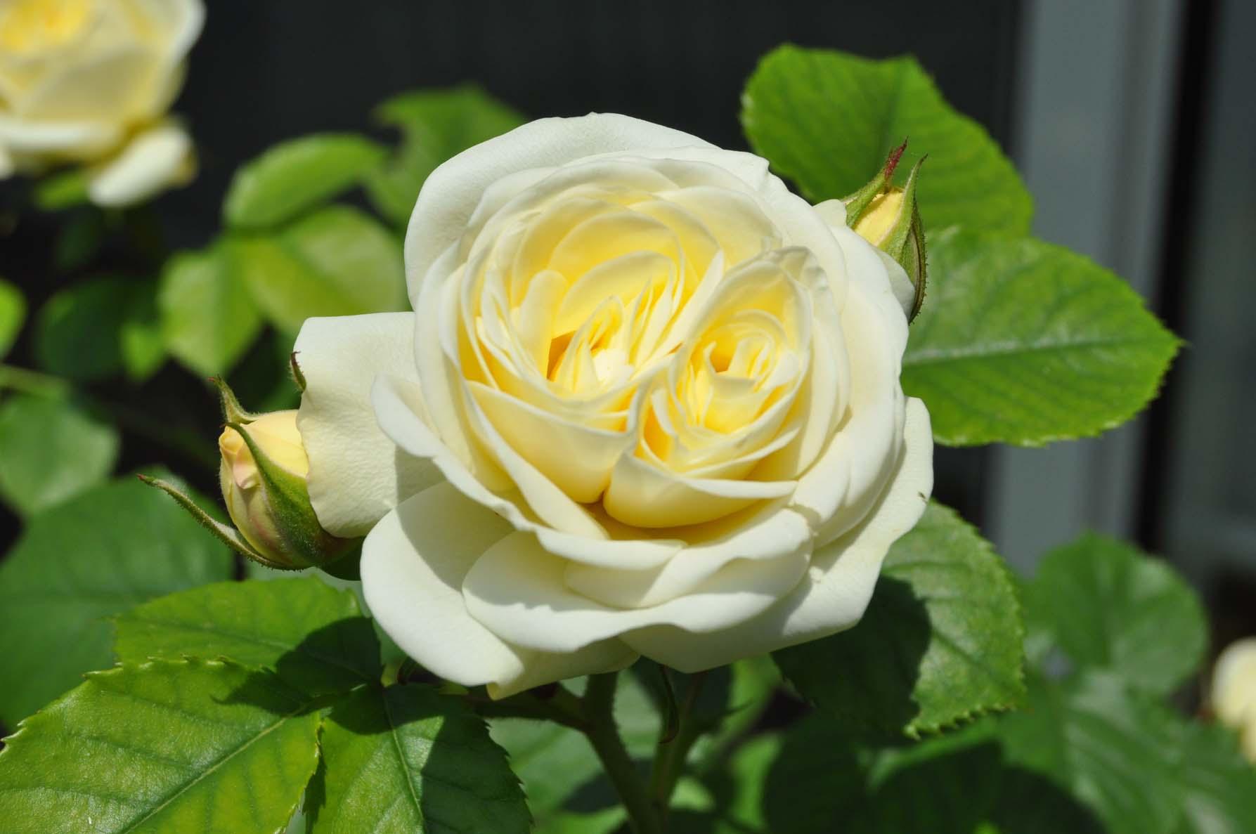 庭バラ14栗ーミーエデン