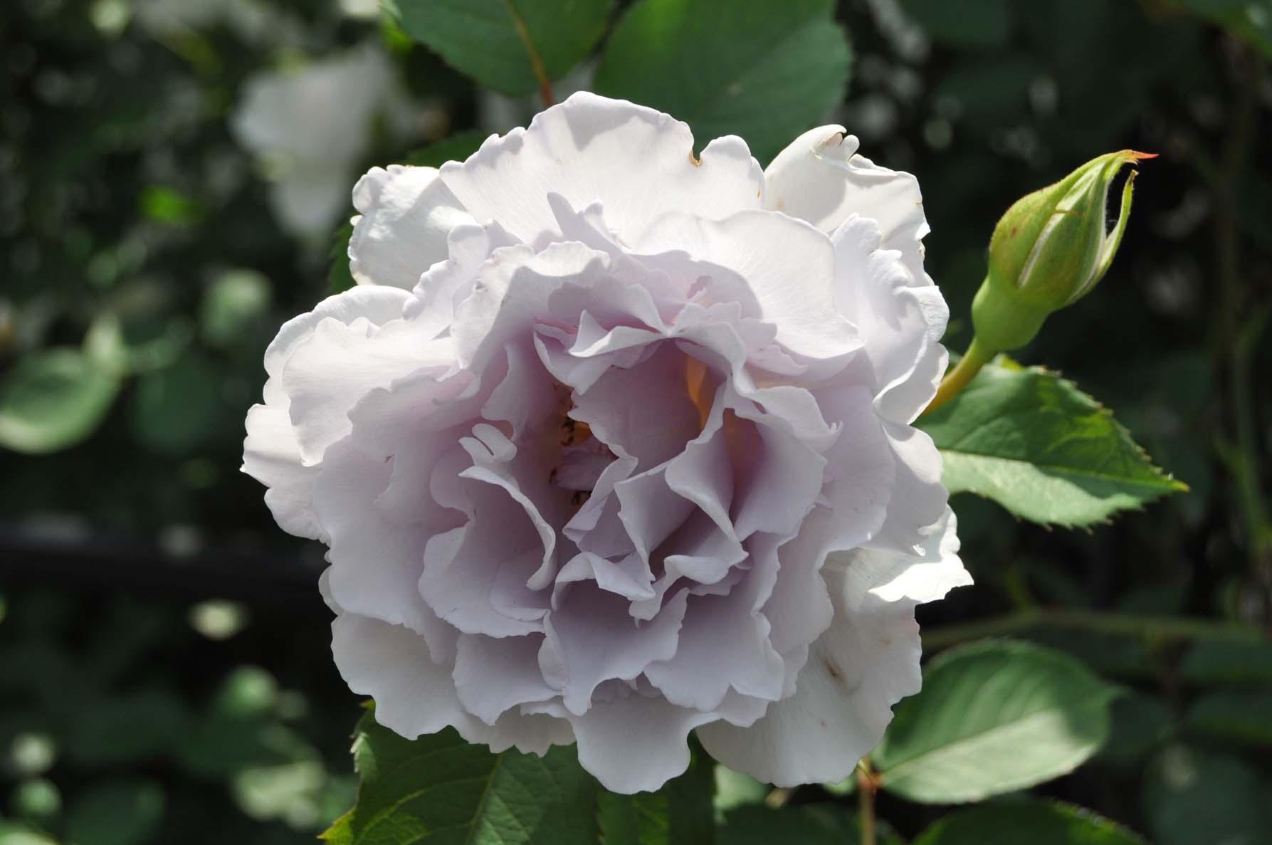 庭バラ1ミスティパープル