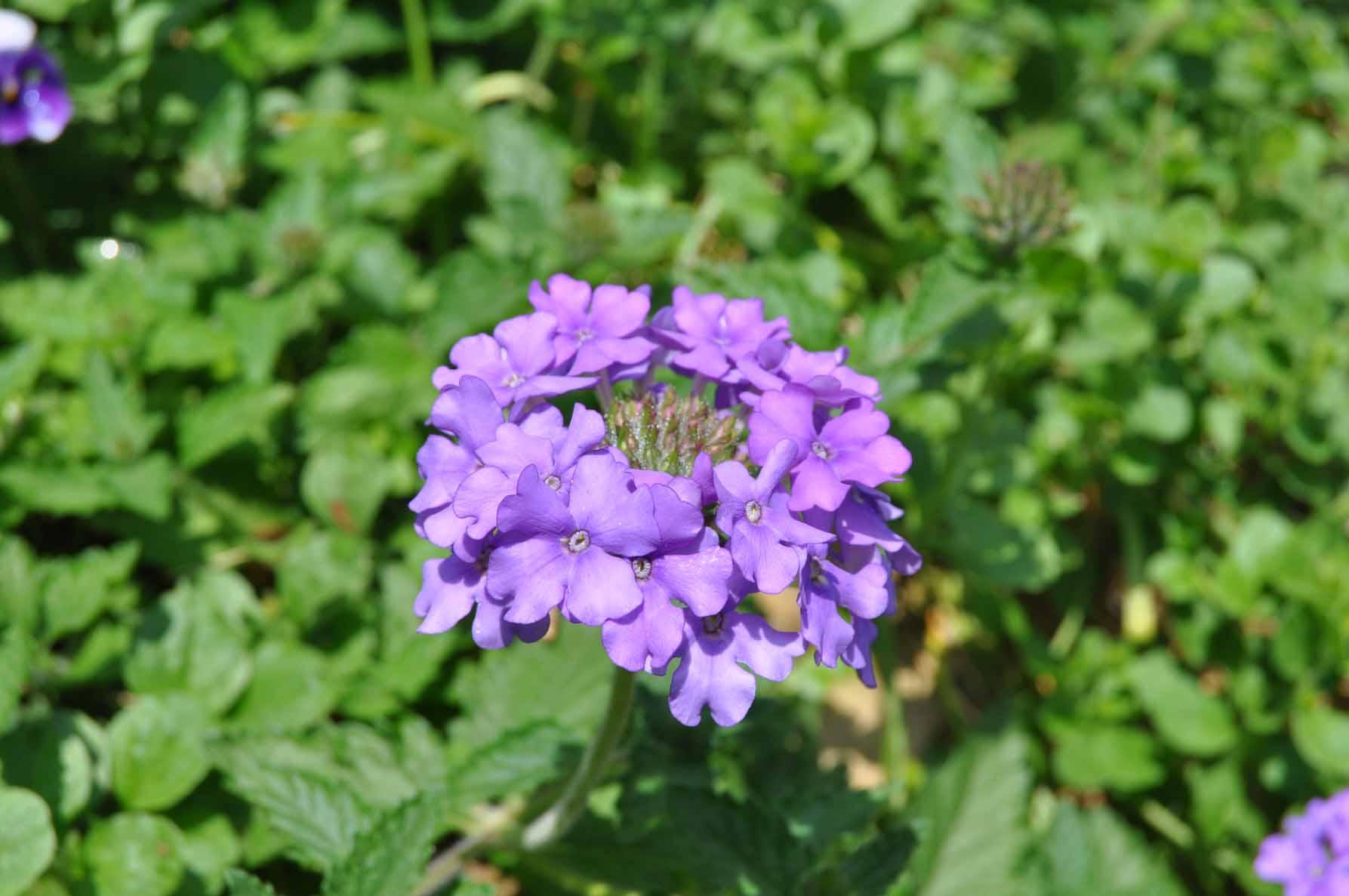 庭バラ29バーベナ