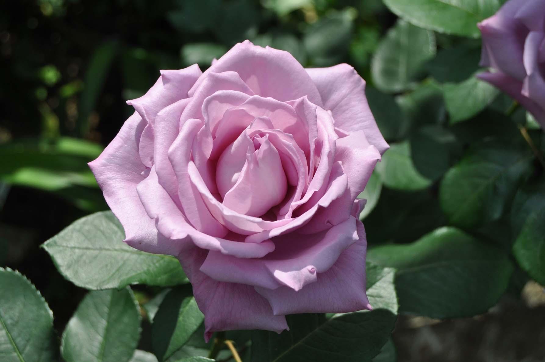 庭バラ5ブルームーン