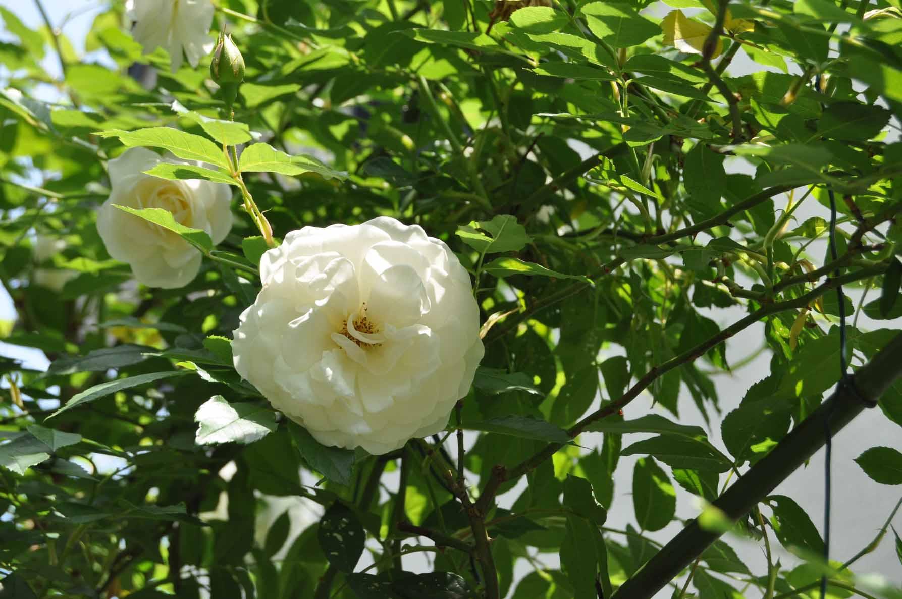 庭バラ25ツルアイスバーグ