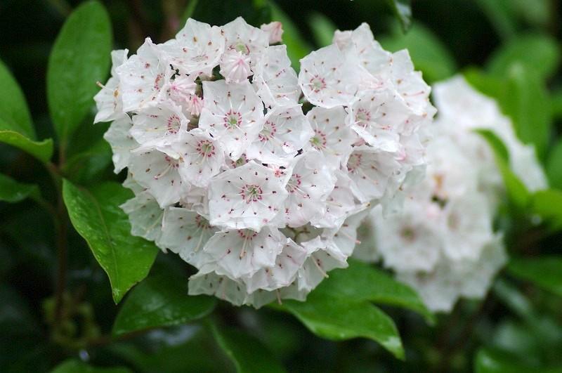 カルミアのお花