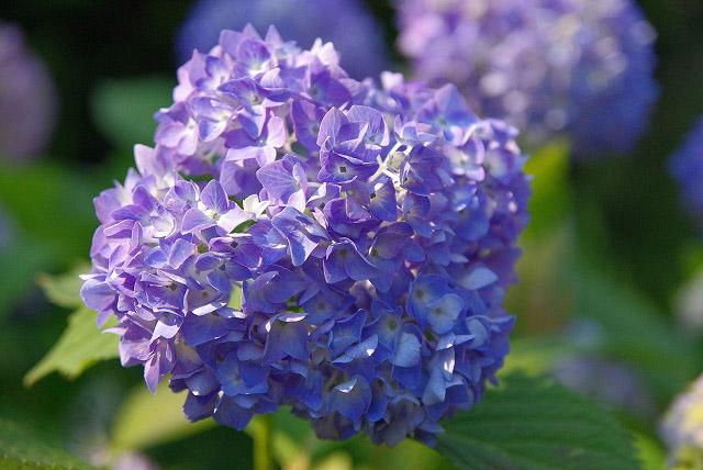 あじさいのお花