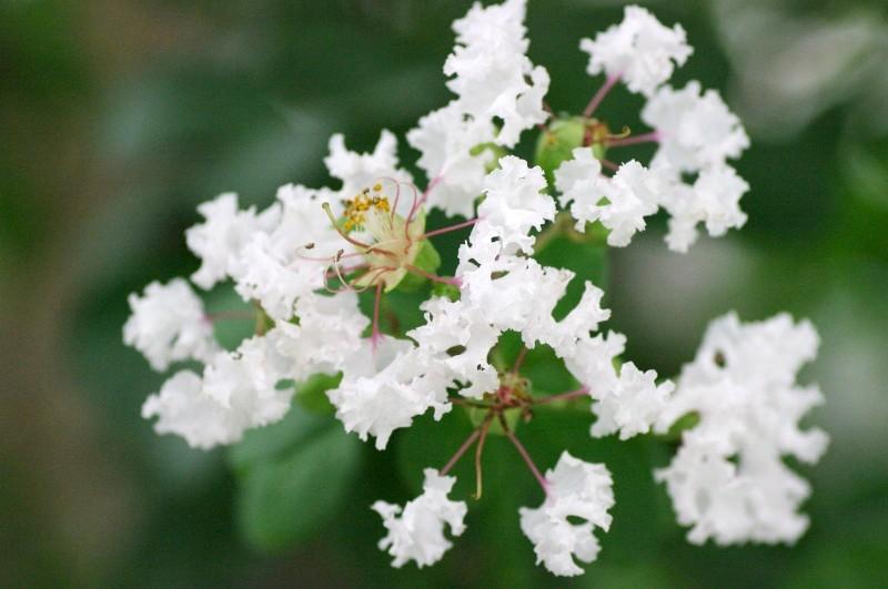 白い百日紅のお花