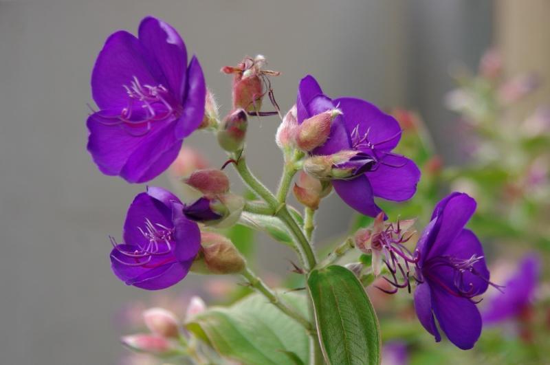 紫紺の牡丹