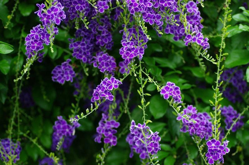 デュランタのお花