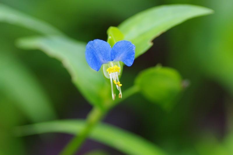 露草のお花