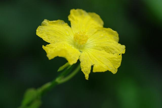 糸瓜のお花