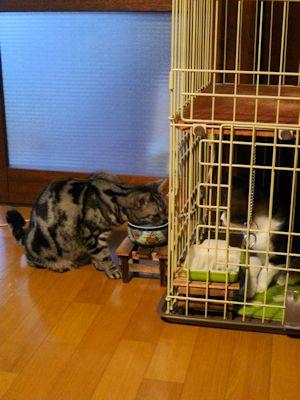 メンチ切りながら水を飲む猫
