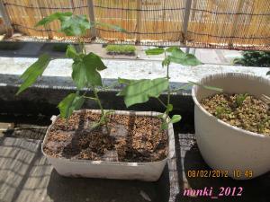 20120802_cotton_convert.jpg