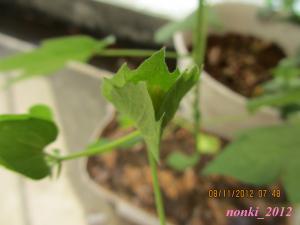 20120811_cotton_convert.jpg