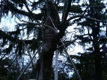 アオギリの木