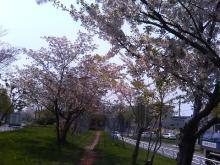 札幌のさくら