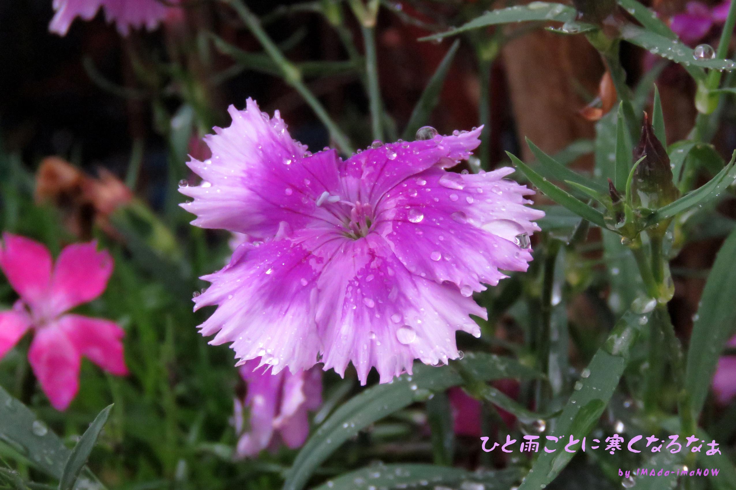 IMG_6830 ナデシコ