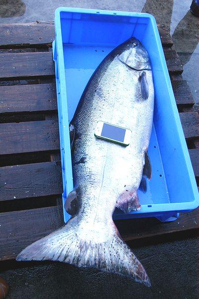 17キロの時鮭