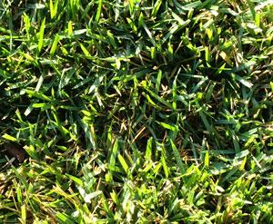 crabgrass1201.jpg