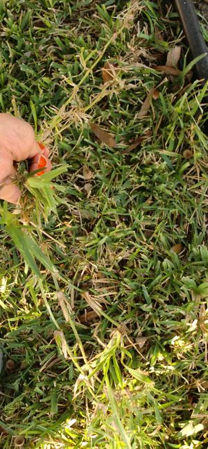 crabgrass1204.jpg