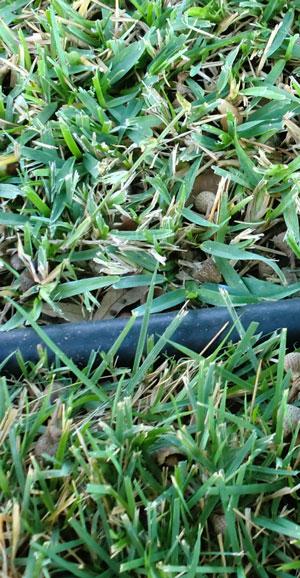 crabgrass1208.jpg