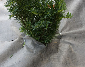 hedge1312.jpg
