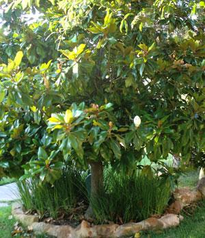 magnolia05171201.jpg