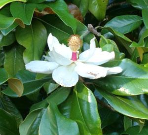 magnolia05171204.jpg