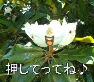 magnolia05171207.jpg